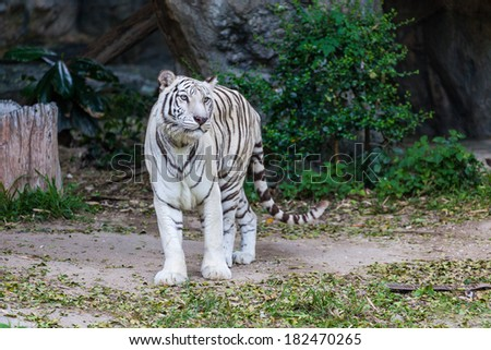 Animal: White Tiger walking - stock photo