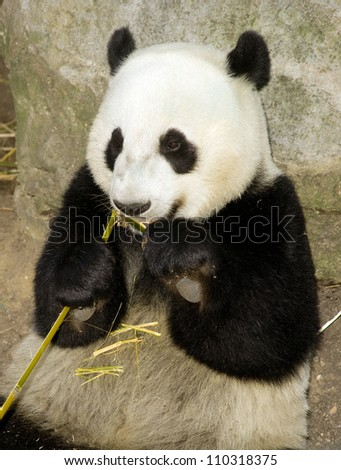 Animal Wildlife the Giant Panda Bear sits while eating a bamboo stalk