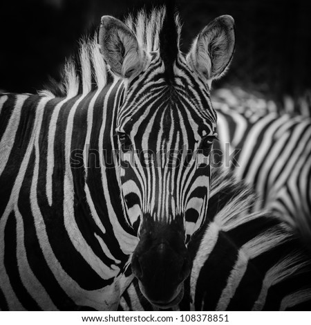 animal zebre portrait - stock photo