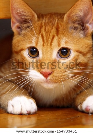 Animals at home. Close up red cute little baby cat pet kitten laying on floor - stock photo