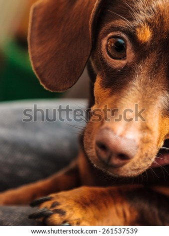 Animals at home. Dachshund chihuahua and shih tzu mixed dog relaxing on bed indoor - stock photo