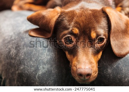 Animals at home. Dachshund chihuahua and shih tzu mixed dog relaxing on human legs indoor - stock photo