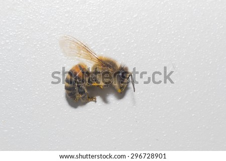 animals bee insect animal pets insects macro white