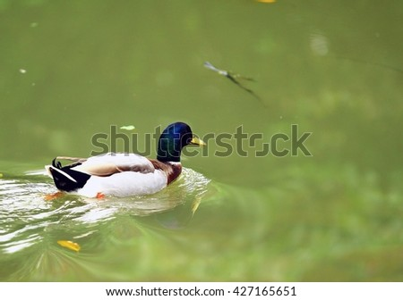 Animals, birds, mallard, biological
