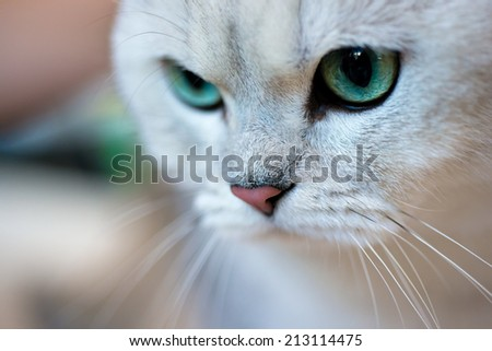 Animals: close-up portrait of British shorthair silver shaded chinchilla cat - stock photo