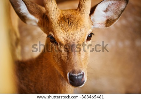 Animals. Closeup Head Portrait Of Beautiful Spotted Fallow Sika Deer In The Zoo, Looking In Camera. Travel To Thailand, Asia Tourism.