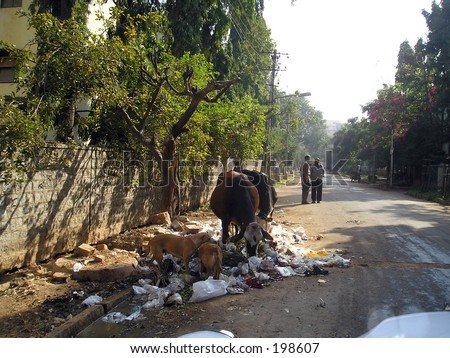 Animals eating garbage in Bangalore (India) - stock photo