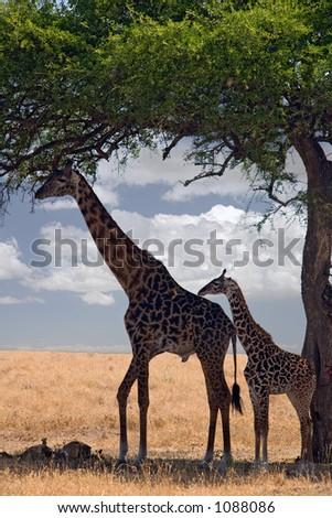 animals 047 giraffe under tree - stock photo