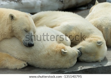 Animals: group of polar bears, mother and cubs, having a rest, sleeping together - stock photo