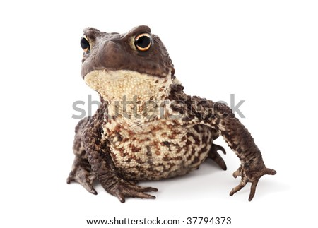 Animals have emotions as well as at people. Toad with interesting expression of curiosity. A macro view of a brown toad on a white background.