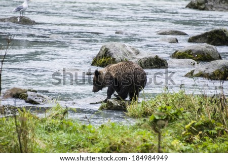 Animals In The Wild - Alaska - Baby Brown Bear Catching A Fish / Alaska - Baby Brown Bear Catching A Fish - stock photo