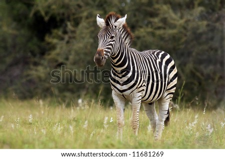 Animals of Africa, this is a Zebra
