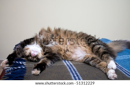Animals - Pets. Maine Coon cat sleeping in a funny position. - stock photo