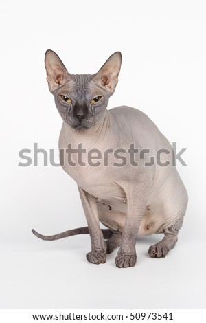 animals sphinx bald domestic pets