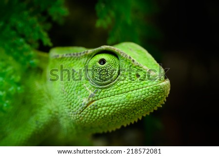 Animals: young green Cape dwarf chameleon, Bradypodion pumilum, looking up, close-up portrait, on dark background - stock photo