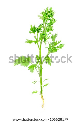 anise ordinary  with root isolated on white background. Studio macro - stock photo
