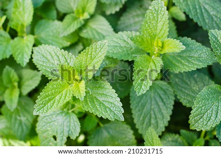Anisometes indica also known as Indian Catmint - stock photo