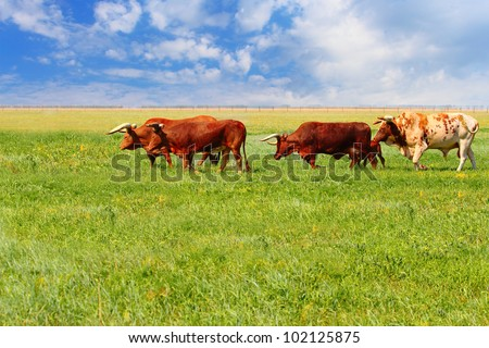 Ankole Watusi in a wild life park of Askania Nova, Ukraine - stock photo