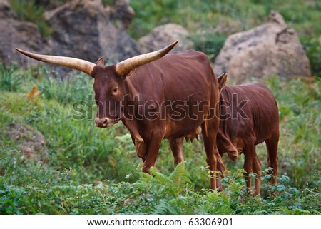 Ankole Watusi standing in a wild life park - stock photo