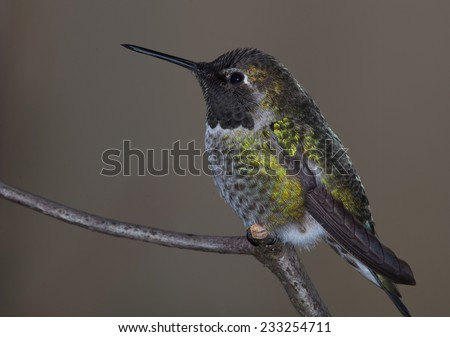 Anna's Hummingbird female - stock photo