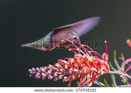 Anna's Hummingbird Flying on Grevillea Flower - stock photo