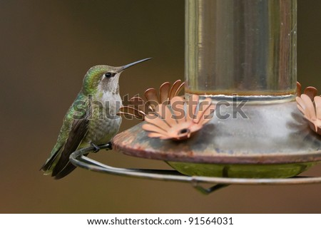 Anna's Hummingbird sitting on a feeder, isolated against blurred background. - stock photo