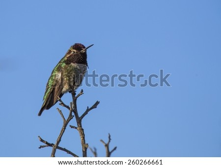 Anna's Hummingbird spotted in Golden Gate Park, San Francisco - stock photo