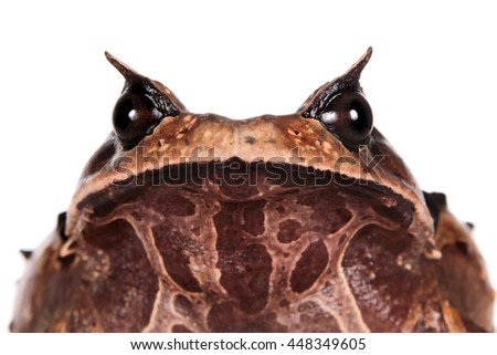 Annam spadefoot toad, brachytarsophrys intermedia, isolated on white background - stock photo