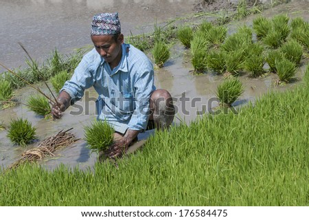 ANNAPURNA AREA, NEPAL - MARCH 29: An unidentified Nepalese man plant paddy at his field on the Annapurna trail on March 29,2013
