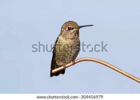 Annas Hummingbird (Calypte anna) on a perch - stock photo