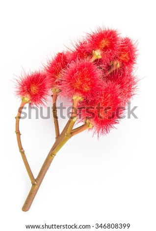 Annatto lipstick tree  - stock photo