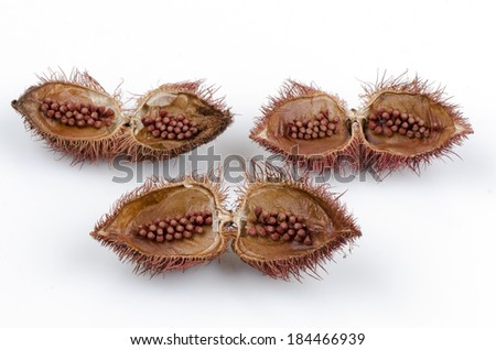 Annatto Tree (Bixa orellana L.). - stock photo