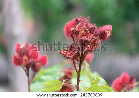 Annatto tree in the forest, Thailand - stock photo