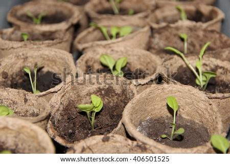 Annual flower petunia seedlings in flowerpots - stock photo