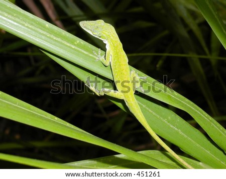 Anole In Waiting - stock photo