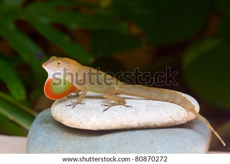 Anole Lizard showing mating or defensive display on a rock - stock photo