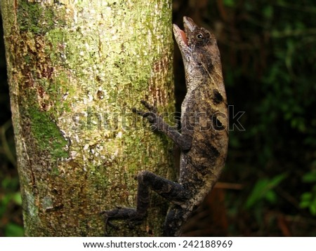 Anoles lizard - stock photo