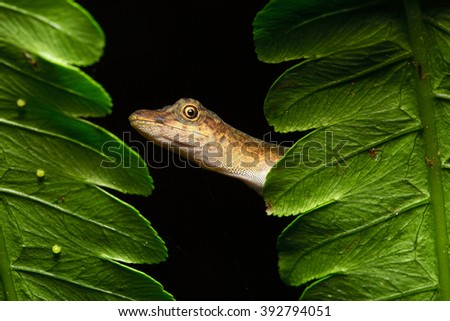 Anolis a small lizard in the Amazonian rain forest of Brazil, Peru, Ecuador and Bolivia. A beautiful reptile in the Amazon rainforest. A nocturnal animal - stock photo