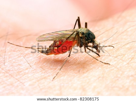 Anopheles mosquito - dangerous vehicle of infection - stock photo