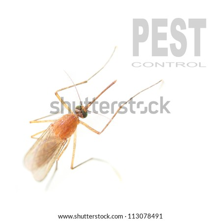 Anopheles mosquito - dangerous vehicle of infection. Picture with space for your text. - stock photo