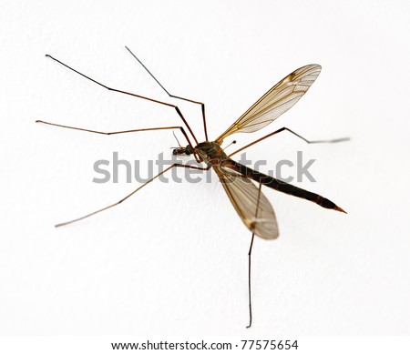 Anopheles Mosquito on white background - stock photo