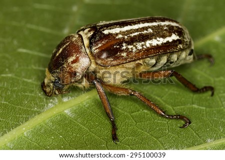 Anoxia orientalis beetle - stock photo