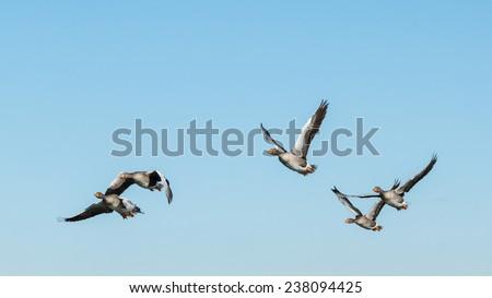 Anser anser. Greylag Geese in flight. Reserve Natural Lagoons de Villafafila, Zamora. - stock photo