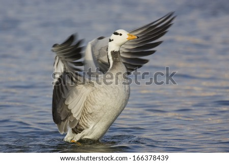 Anser indicus, Bar-headed Goose - stock photo