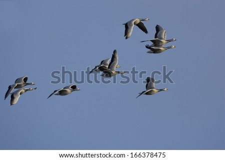 Anser indicus, Bar-headed Goose, flying - stock photo
