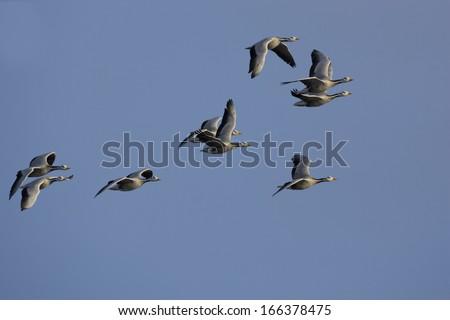 Anser indicus, Bar-headed Goose, flying - stock photo