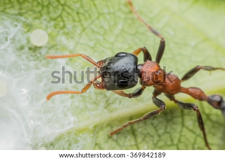 Ant carrying its eggs away  - stock photo
