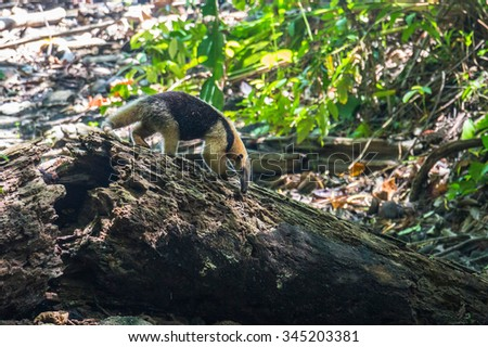 Ant-eater searching for food in Corcovado, Costa Rica - stock photo
