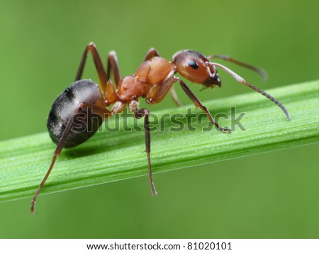ant formica rufa on grass - stock photo