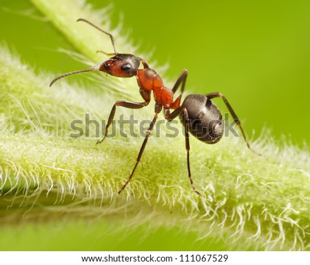 ant formica rufa on green grass - stock photo